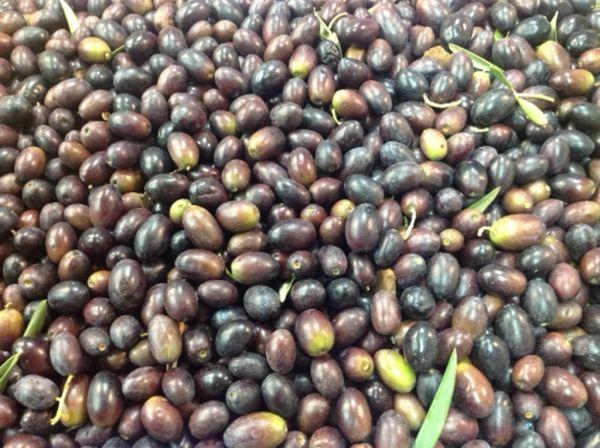 Schwarze Oliven frisch geerntet