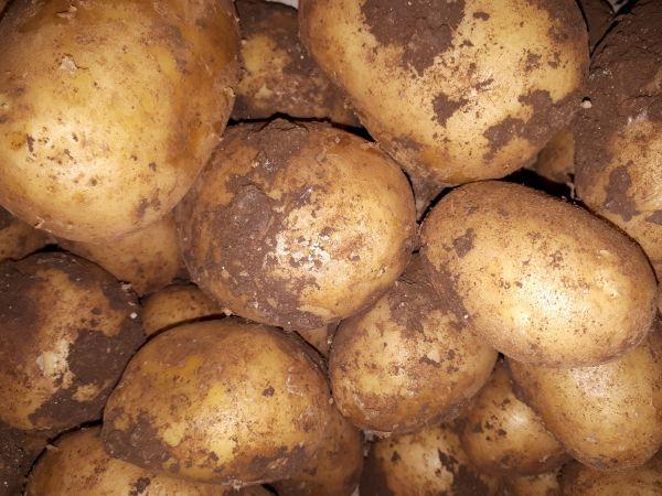 Kartoffel halb und halb-Neue Ernte Sizilien