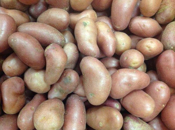 Kartoffel Mini rot